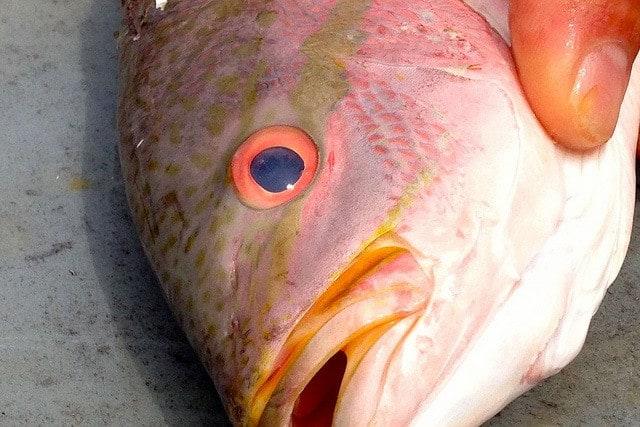 yellowtail snapper head FL